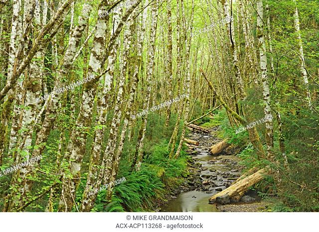 Alders on Rennell Sound. Graham Island, Haida Gwaii, formerly the Queen Charlotte Islands), British Columbia, Canada