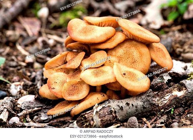 Ringless Honey Fungus(Armillaria tabescens)