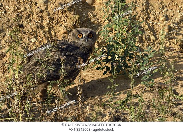 Eurasian Eagle Owl ( Bubo bubo ) at sunset, golden light, perched in the slope of a gravel pit, watching attentively, wildlife, Europe