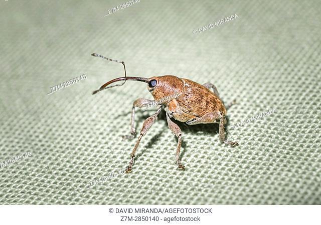 Nut weevil (Curculio nucum). Fam. Curculionidae. Insect. Arthropoda. Macro