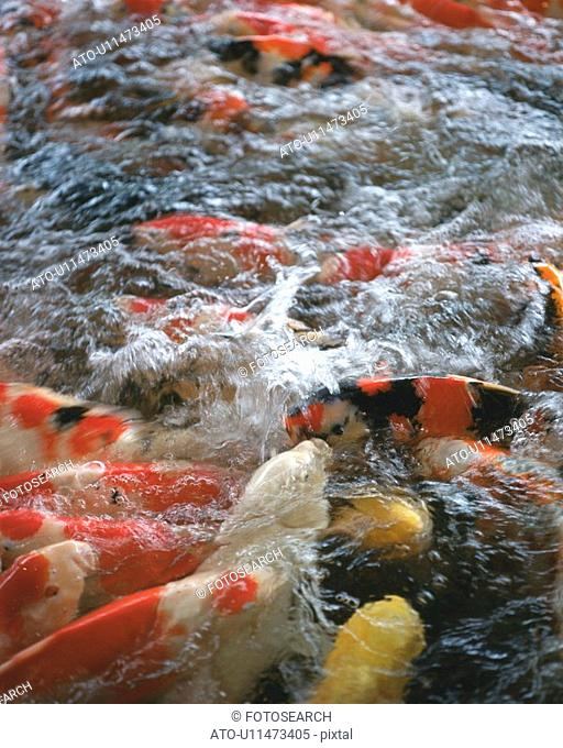 Large group of carps in water, Japan, high angle view, close up