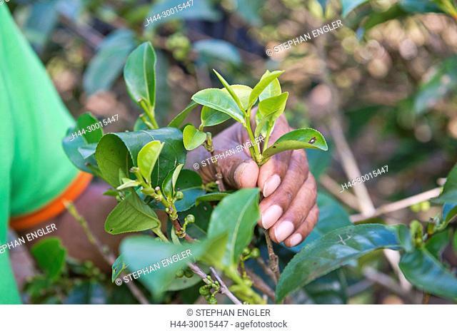 Sri Lanka, Asia, Tea factory, Handunugoda, Olong tea, tea factory