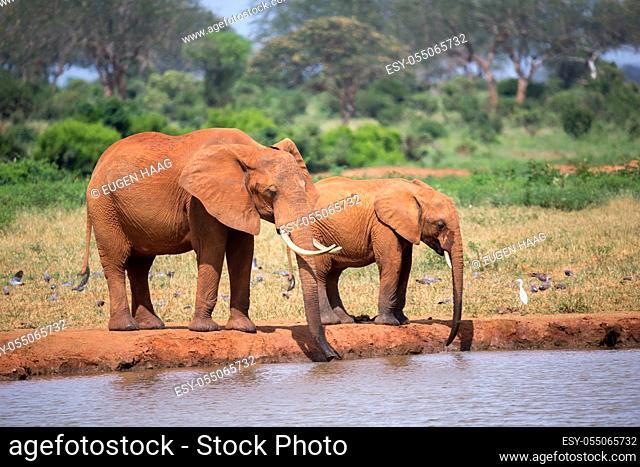 A elephants family drinking water from the waterhole