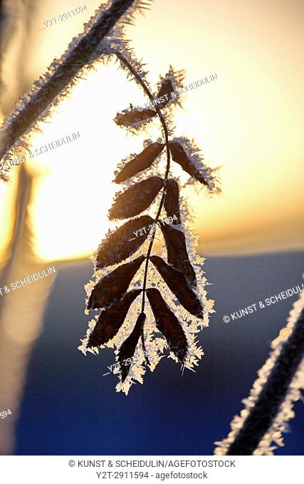 Frost is covering twigs on a cold winter day, Västernorrland, Sweden