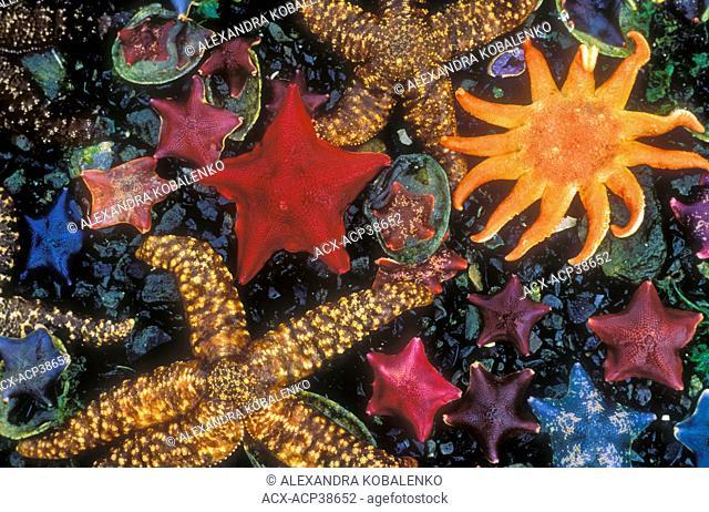Intertidal life, Burnaby Narrows, Queen Charlotte Islands, Gwaii Haanas National Park, BC