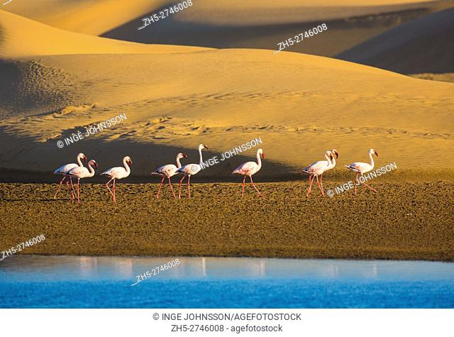 Flamingos are a type of wading bird in the genus Phoenicopterus, the only genus in the family Phoenicopteridae. There are four flamingo species in the Americas...