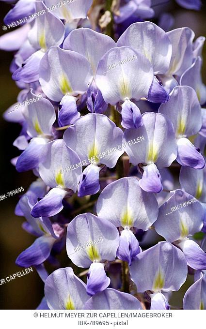 Japanese Wisteria blossoms (Wisteria floribunda)