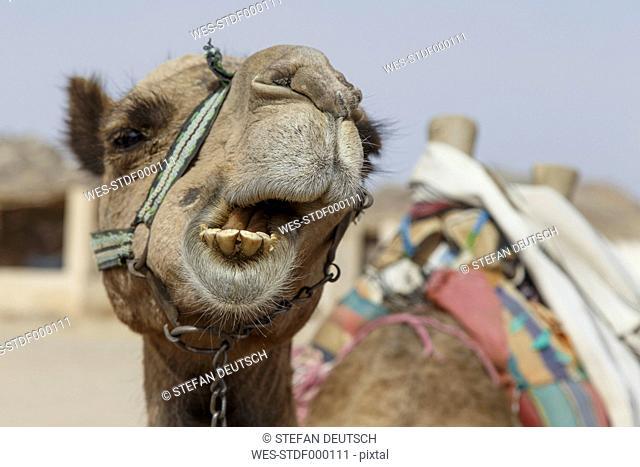 Egypt, Hurghada, portrait of chewing dromedary camel, Camelus dromedarius