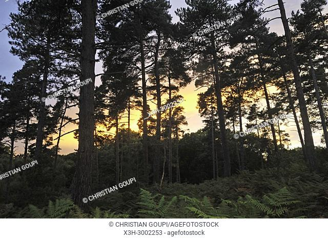 Eagle fern bed (Pteridium aquilinum ) under pine trees in the Forest of Rambouillet, Haute Vallee de Chevreuse Regional Natural Park, Department of Yvelines