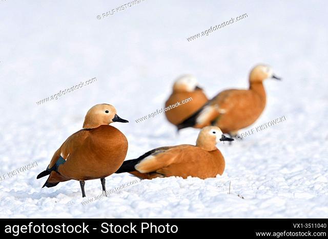 Ruddy Shelducks / Rostgänse ( Tadorne casarca ), little flock, resting in snow, on snow covered farmland, overwintering, invasive spezies in Europe, wildlife