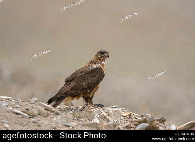 Upland Buzzard, Buteo hemilasius, Ladakh, Jammu and Kashmir, India