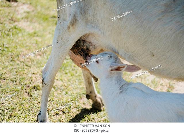 Goat kid feeding from mother