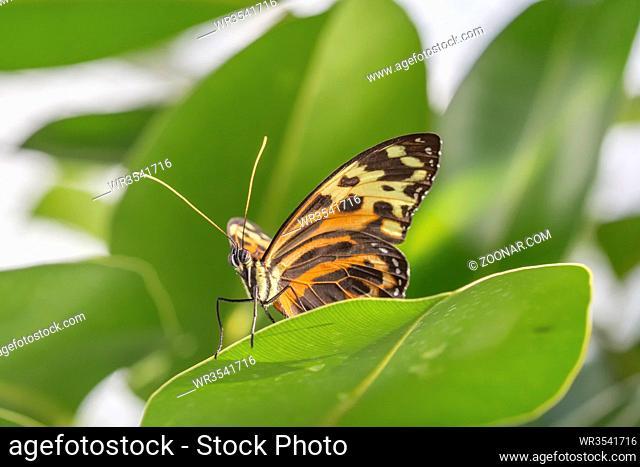 Tropischer Schmetterling (Eueides isabella)
