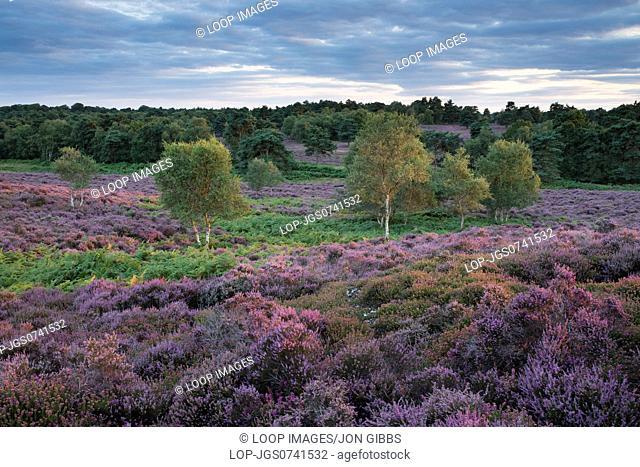 Wonderful heather colours at Dunwich Heath in Suffolk