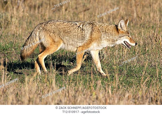 Coyote on the hunt in the Grand Teton National Park