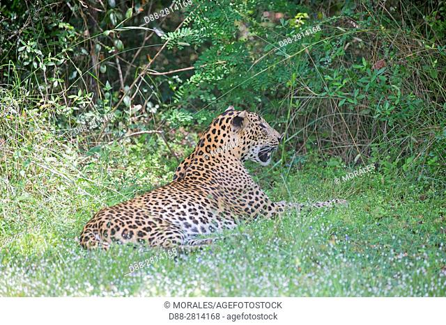 Sri Lanka, Northwest Coast of Sri Lanka, Wilpattu national patk, Sri Lankan Leopard Panthera pardus kotiya), resting