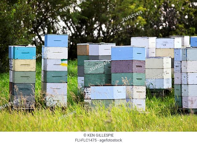Honey beehives in multi colored wooden boxes. Pembina Valley, Manitoba, Canada