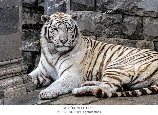 White tiger / bleached tiger (Panthera tigris) pigmentation variant of the Bengal tiger, native to India