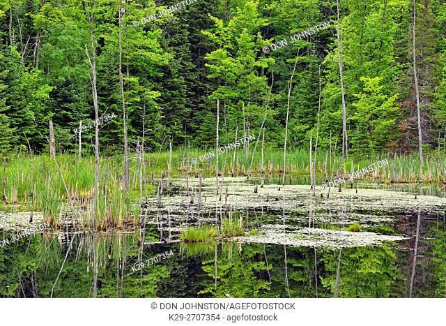 Wetland and tree snags, Hwy 63 near Hayward, Wisconsin, USA