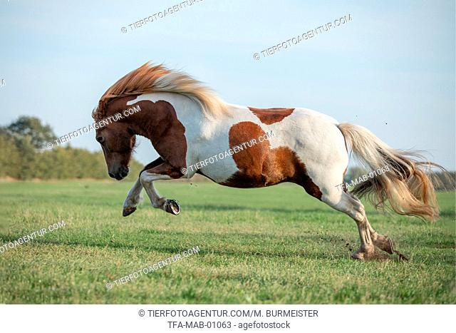 galloping Icelandic horse