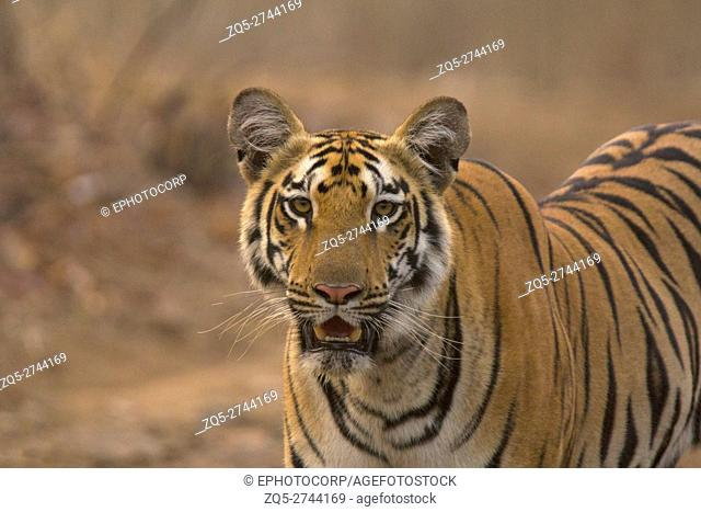 Zara, Tiger, Panthera tigris tigris. Tipeshwar Wildlife Sanctuary, Maharashtra