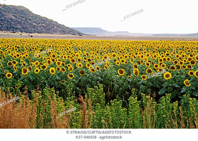Field of sunflowers at sunset. South Africa