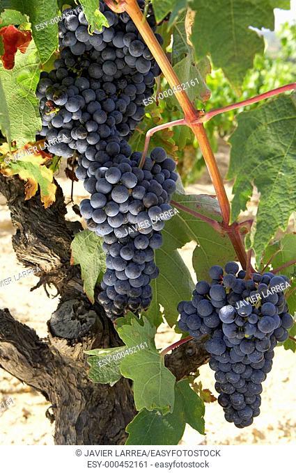 Vineyards, Tempranillo, near Laguardia, Rioja Alavesa, Araba, Basque Country, Spain