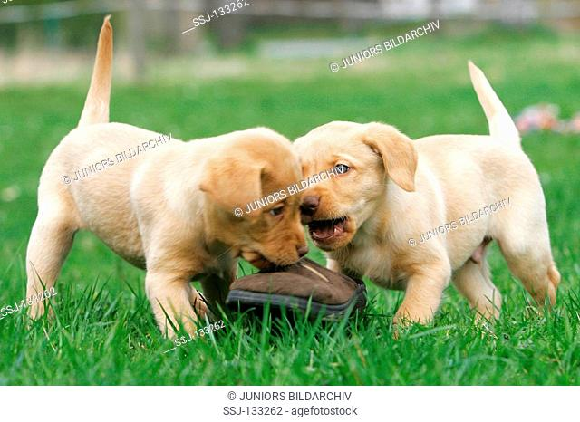 two Labrador Retriever puppies - playing on meadow restrictions: Tierratgeber-Bücher / animal guidebooks