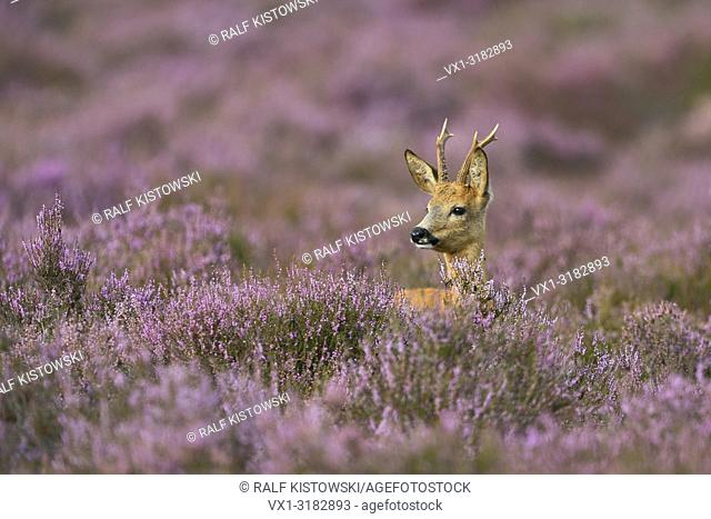 Male Roe deer ( Capreolus capreolus ) looks out of nice violett blooming heather