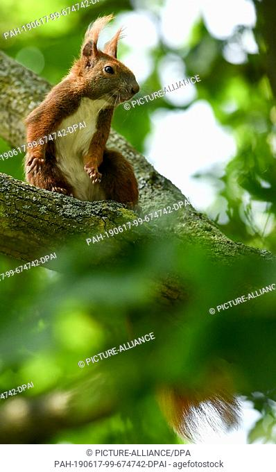 15 June 2019, Berlin: A squirrel sits in the branches of a tree. Photo: Jens Kalaene/dpa-Zentralbild/dpa. - Berlin/Berlin/Germany