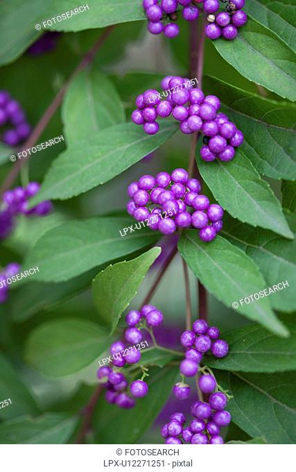 Japanese beautyberry Callicarpa dichotoma