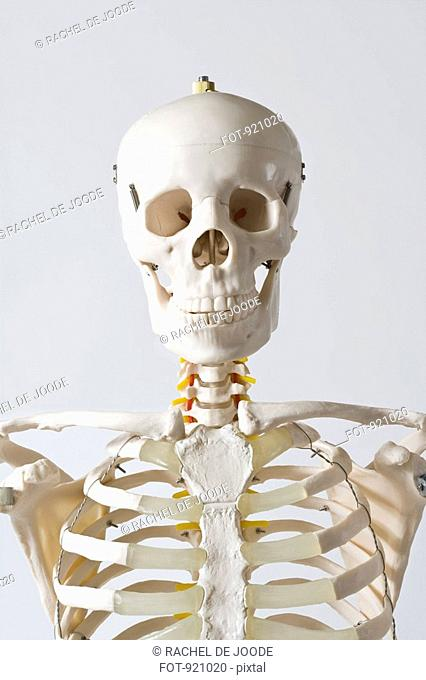 Skull Skeletonbranatomical Model Of The Head And Neck Bones Of An