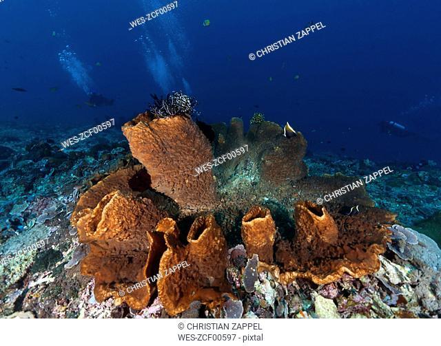 Indonesia, Bali, Nusa Lembonga, Nusa Penida, divers and brown vase sponge, Callyspongia sp.02