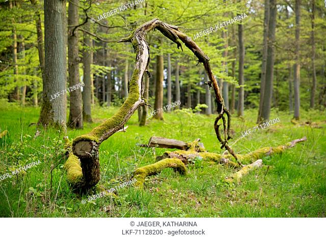 Weathering oak (Quercus petraea) branch amidst beech (Fagus sylvatica) trees with spring foliage near Bringhausen in Kellerwald-Edersee National Park