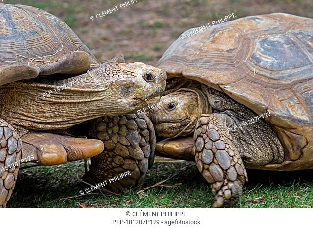 Two African spurred tortoises / sulcata tortoises (Centrochelys sulcata / Testudo sulcata) native to Africa
