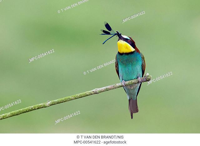 European Bee-eater (Merops apiaster) with Banded Demoiselle (Calopteryx splendens) prey, Bourgogne, France