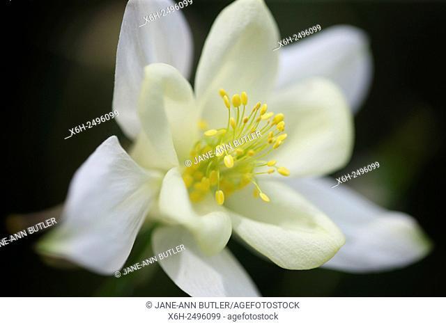 Summer radiance white aquilegia bloom with pollen rich stamens