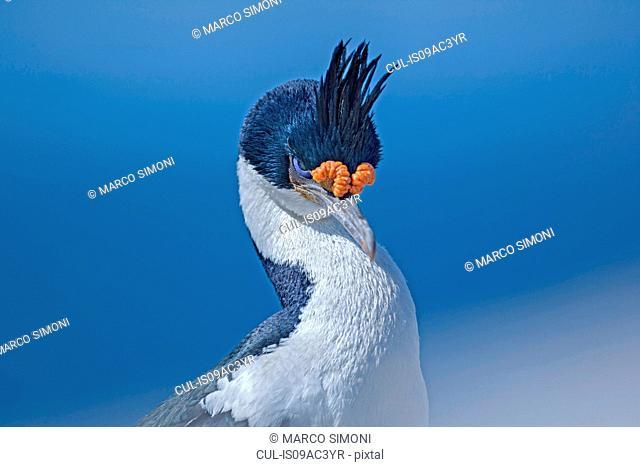 King cormorant (Phalacrocorax atriceps) close-up, Falkland Islands
