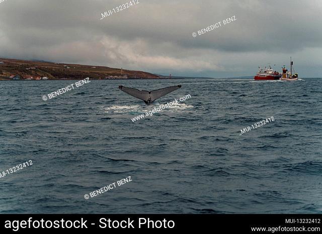 Iceland, Norðurland vestra, Akureyri, Eyjafjördur, Humpback, Whale, Megaptera novaeangliae, Coast, Fjord