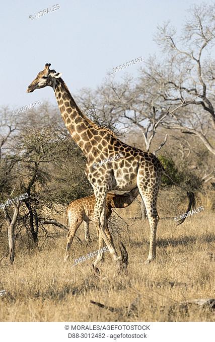 Africa, Southern Africa, South African Republic, Mala Mala game reserve Northern giraffe (Giraffa camelopardalis), adult