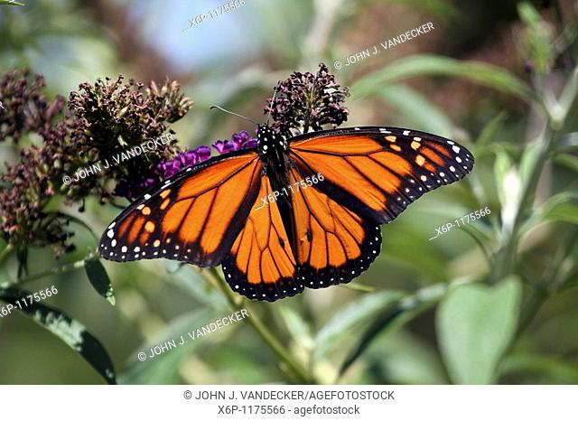 A male Monarch Butterfly, Danaus plexippus, with wings spread feeding at a butterfly bush  The male Monarch Butterfly can be identified by the black spot on the...