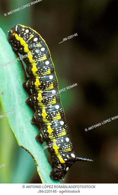 Spurge Hawkmoth caterpillar (Hyles euphorbiae)