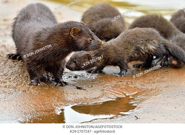 Mink (Mustela vison) Mother and pups, captive, Minnesota wildlife Connection, Sandstone, Minnesota, USA