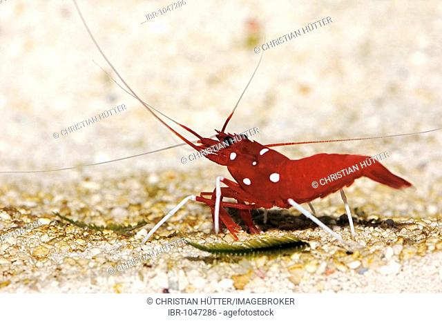 Pacific Cleaner Shrimp, Northern Cleaner Shrimp (Lysmata amboinensis)