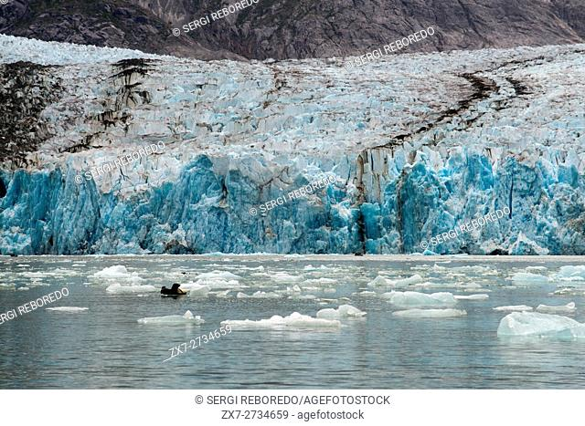 Harbor seals (Phoca vitulina) on iceberg near the Dawes Glacier, Endicott Arm, Tongass National Forest, Alaska, USA. Cliff-walled fjords sliced into the...