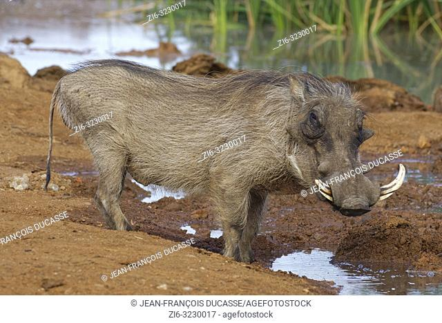 Common warthog (Phacochoerus africanus), adult male, at a waterhole, alert, Addo Elephant National Park, Eastern Cape, South Africa, Africa