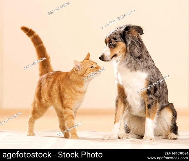 Mini Australian Shepherd and domestic cat. An adult dog and a tabby cat get to know each other. Germany