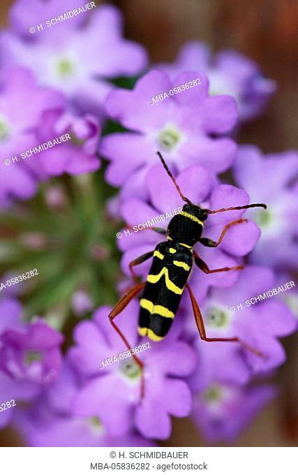 Wasp's vaulting horse, Clytus arietis, on mauve blossoms