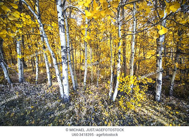 Fall colors have arrived in the Sierra Nevada Mountains near Owens Valley, California
