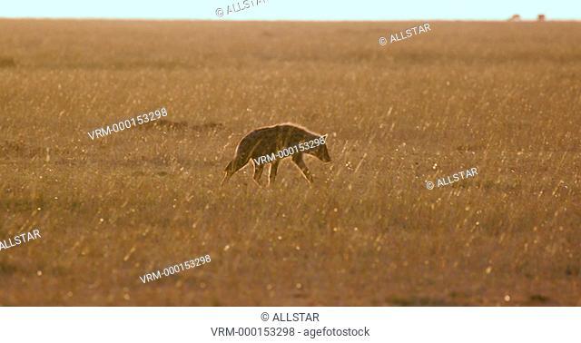 SPOTTED HYENA WALKING AT SUNRISE; MAASAI MARA, KENYA, AFRICA; 07/09/2016